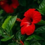 hibiscus flower for skin and hair care