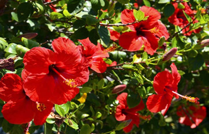 hibiscus for skin and hair care