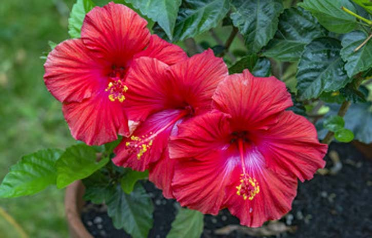 red hibiscus for skin and hair