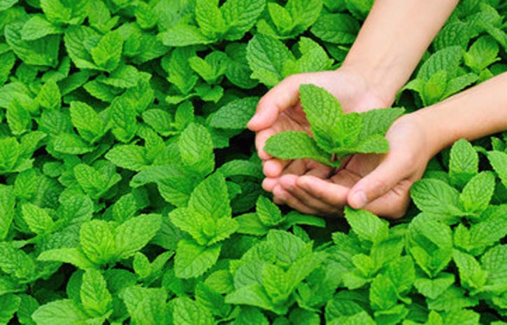 Mint Leaves or Pudina